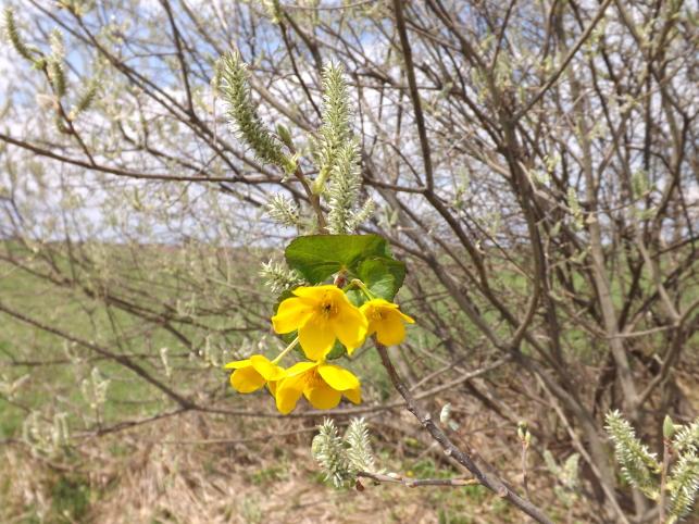 Muguri de Bucovina: galben cu mâțișori