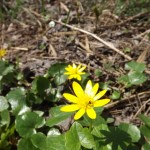 Muguri de Bucovina: galben viu