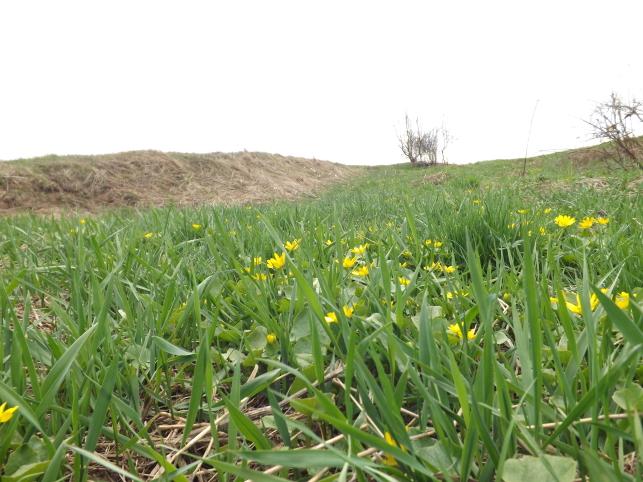 Muguri de Bucovina: verde și galben
