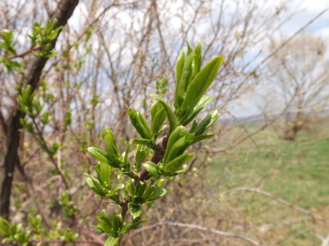 Muguri de Bucovina: verde