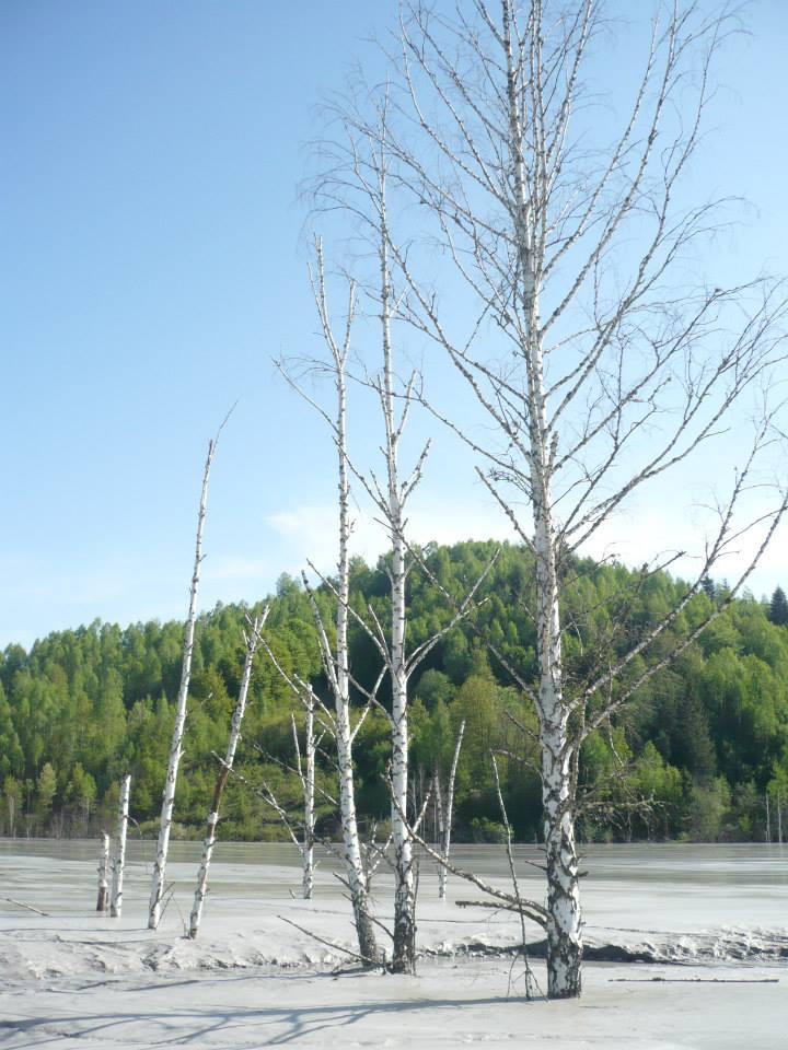 Copaci în iazul de decantare Geamăna